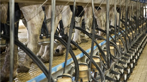 Milking system for cows