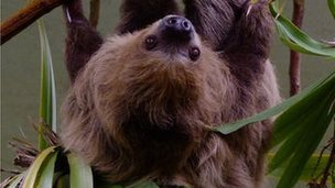 Sofia, the male sloth