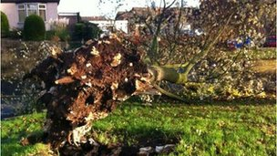 Fallen tree in Spondon
