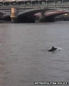 Porpoise in the Thames