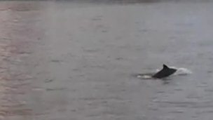 Porpoise on River Thames