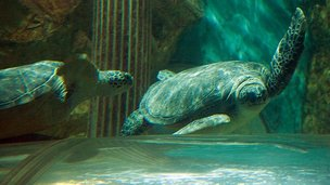Turtles at Sea Life Centre, Great Yarmouth