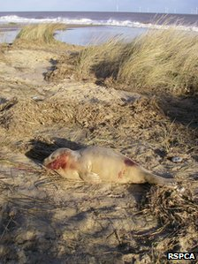 Injured seal in Norfolk