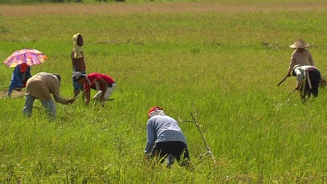 Planting rice fields