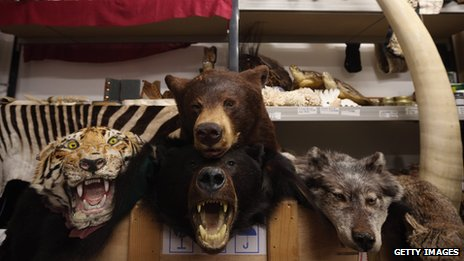 Taxidermy of endangered species