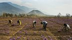 Kashmiri Muslim villagers pick saffron flowers from a field in Pampore