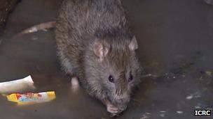A rat in Madagascar