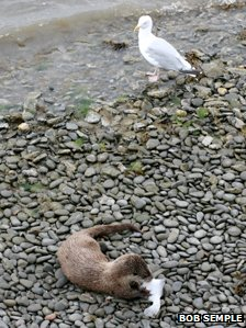 A gull watches an otter eat a fish