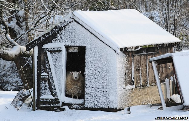 A sheep looks out from its snow covered shed in Penistone, South Yorkshire