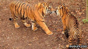 The two tigers meet for the first time