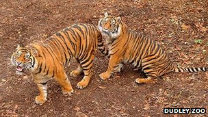 Two tigers at Dudley Zoo