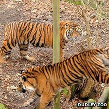 Two Sumatran tigers at Dudley Zoo