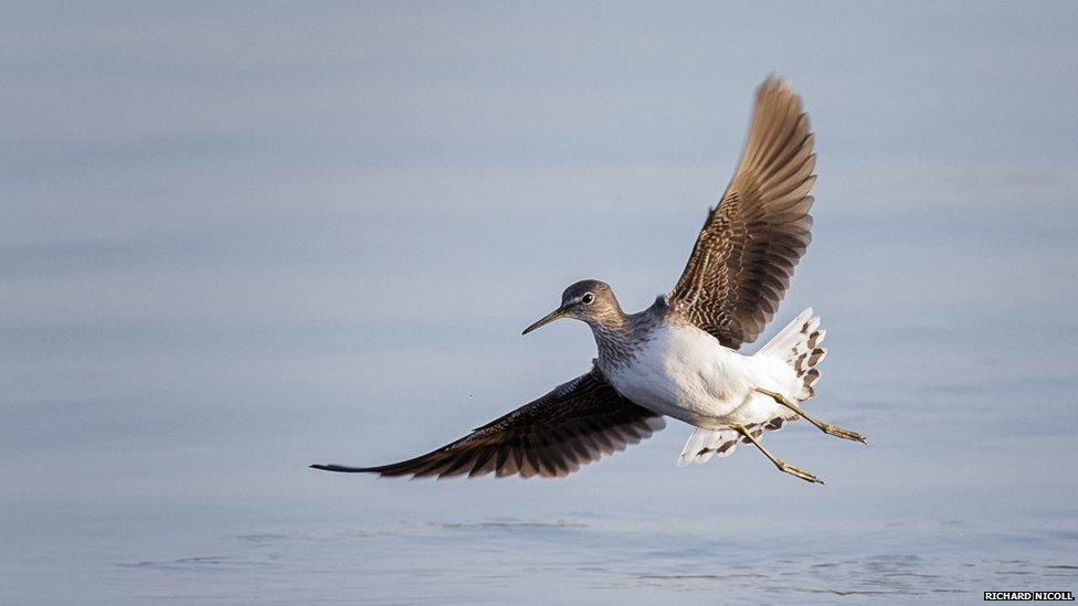 Green sandpiper flight - photo#1