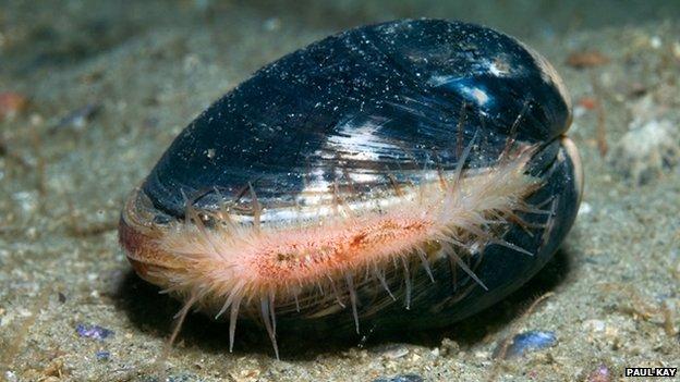 Ocean quahog clam
