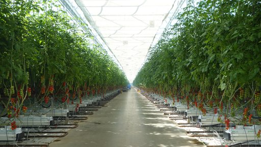 Inside a commercial greenhouse