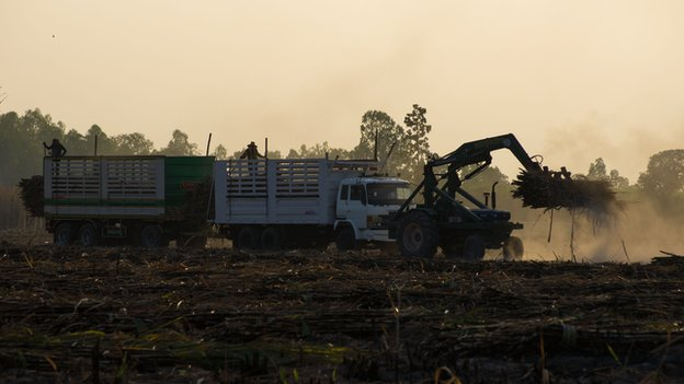 The sugar harvest at Udon Thani