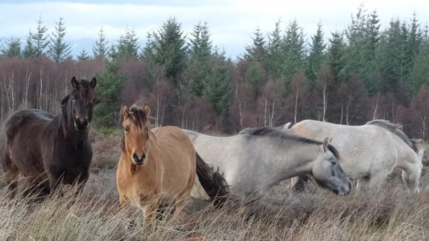 Ponies at Culloden battlefield