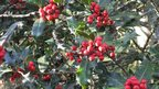 A photo of festive holly berries taken at Duffryn Gardens in the Vale of Glamorgan by Fran Parsons of Cardiff