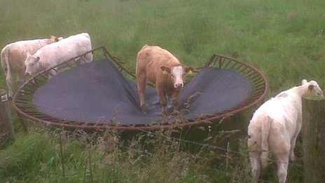 Cow on a trampoline
