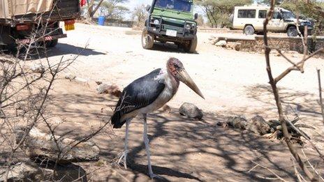 Marabou stork in Serengeti, Tanzania