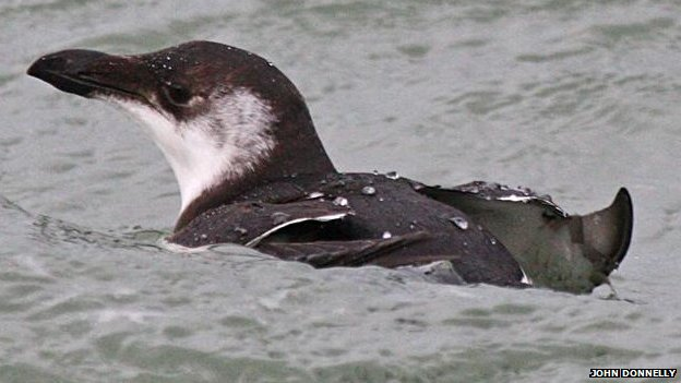 A Razorbill was photographed at the Point of Ayre by John Donnelly