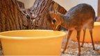 A tiny Kirk's dik-dik antelope