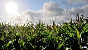 Maize (AFP)