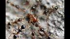Ants - Surabaya, Indonesia.