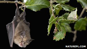 A lesser horseshoe bat hanging