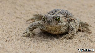 A natterjack toad on sand