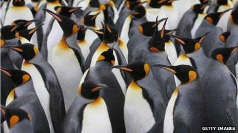 penguins in a dense group