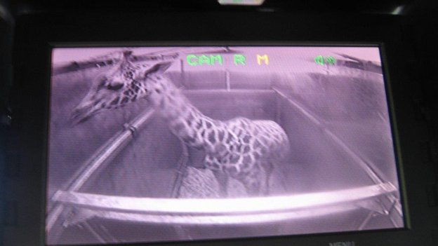 A giraffe being monitored by CCTV