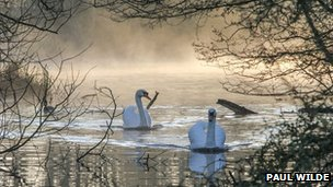 Swans in Paper Mill