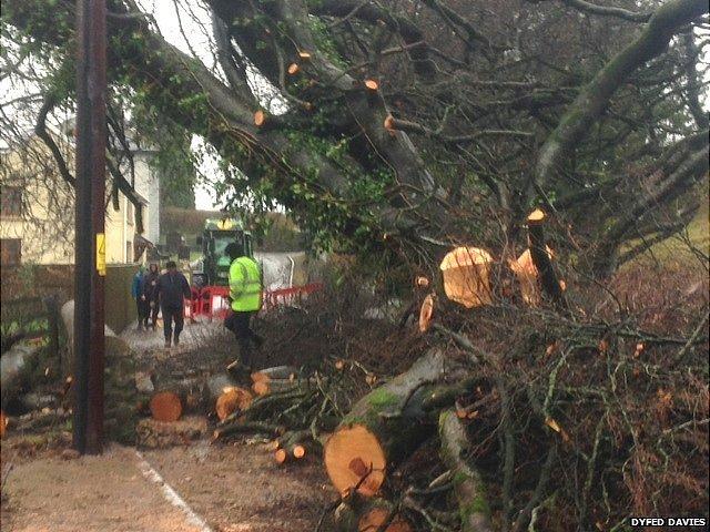 Fallen tree in Llangyndeyrn