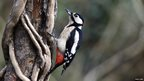 Woodpecker on tree trunk / Mick Lobb