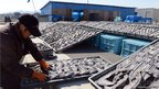 Picture taken on March 12, 2013 shows a worker turning over drying shark fins at a shark fins processing factory in Kesennuma city, Miyagi prefecture, northern Japan.