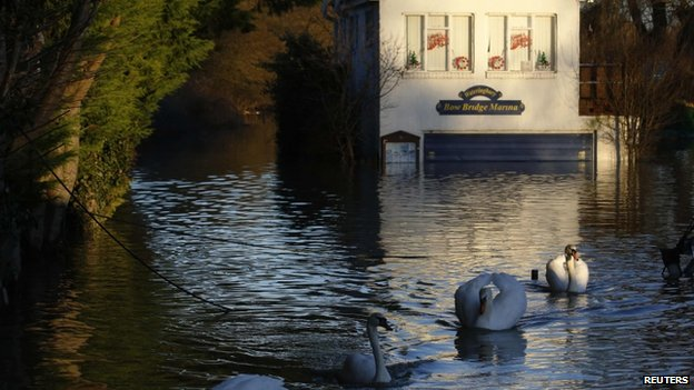 Swans on flood water