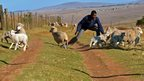 A man tries to catch a lamb in Qunu, South Africa - Wednesday 26 June 2013