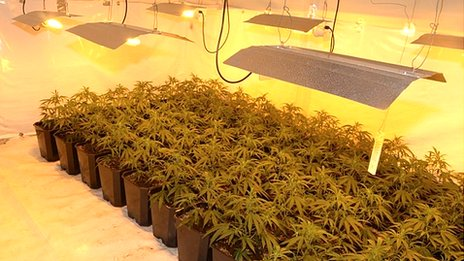 Cannabis plants in Shear Brown