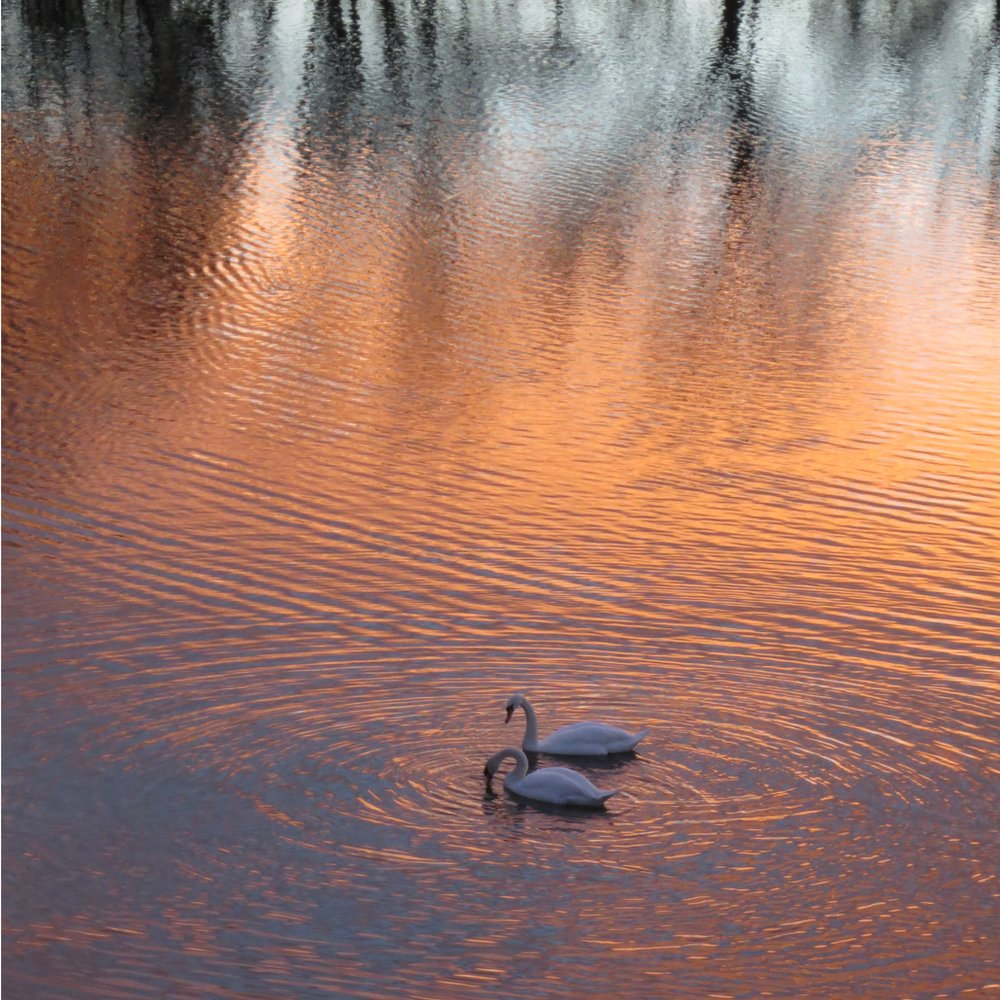 Swans swimming with red-sunset on the water.