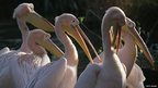 Pelicans at London Zoo