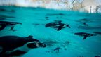 Humboldt penguins swim in a pool during a photo call for London Zoo's annual stock take