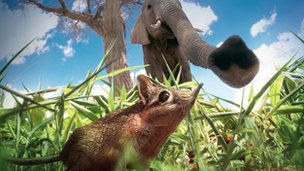 A Sengi (Elephant Shrew) compares noses with a real elephant in the African Savannah (composite image).