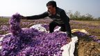 In pictures: Kashmiri saffron