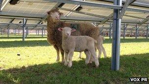 Sheep under solar panels