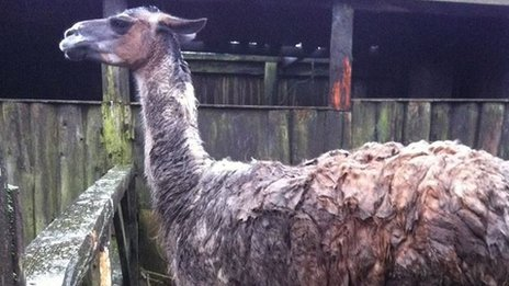 Mud covered Llama