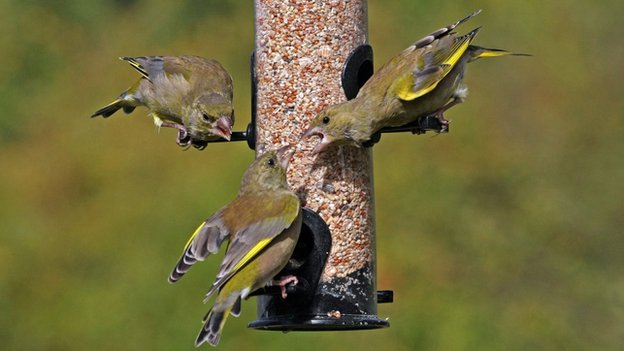 Birds on a feeder (c) Jill Packenham