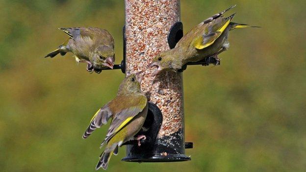 Birds on a feeder (c) Jill Packenham