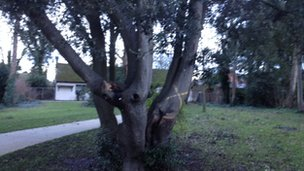 One of the threatened trees in Druitt Gardens