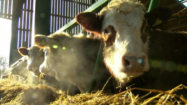 Cattle at a Lincolnshire farm